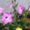 kaktusz és petunia