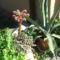 kaktuszvirág