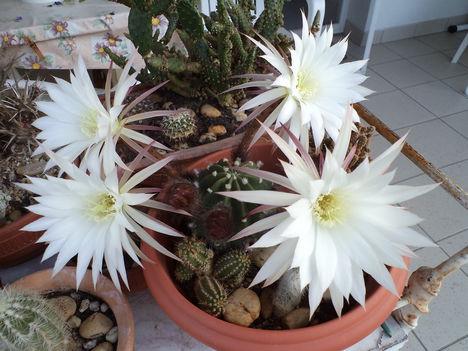 virágzó kaktuszok 3