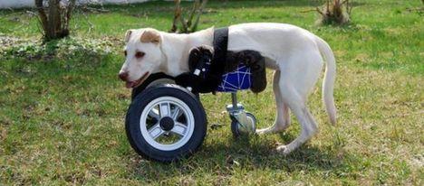 3D nyomtatott kerekes széket kapott egy kutya, a neve Luisa (Riedhausenből)_01