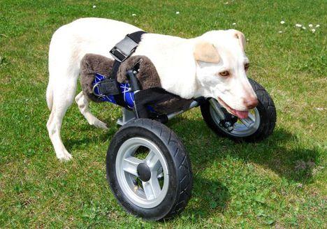 3D nyomtatott kerekes széket kapott egy kutya, a neve Luisa (Riedhausenből)_04