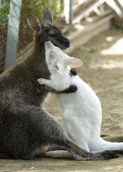 Albinó kenguru