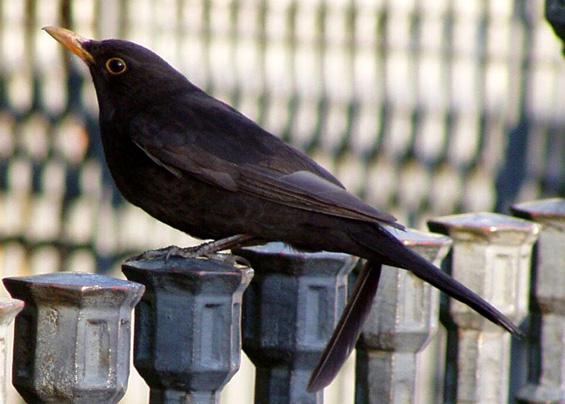 ABC sorrendben: madárnevek - képes játék - Page 5 Fekete_rigo_193884_92007