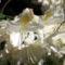 Rododendron-virágok