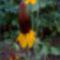 Ratibida columnifera mexikoi kalap