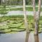 Victoria Regia, ahol az óriás levelű vizi liliomok élnek