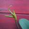 Bulbophyllum echinolabium (3.) - 2015.09.01.