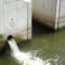 Csalivíz a hallépcső alsó réselt halátjárónál, Mosonmagyaróvár, Lajta folyó a duzzasztómű alvízi szakaszán  2015. szeptember 01.-én
