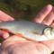Domolykó, Mosonmagyaróvár, Lajta folyó, a duzzasztómű alvízi szakaszán és a hallépcsőben a a halak mozgásának a vizsgálata 2015. szeptember 01.-én