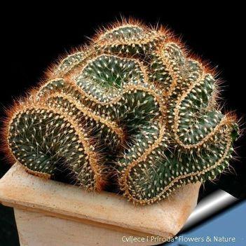 kaktusz (4)