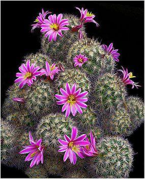 Virágzó kaktuszok (10)