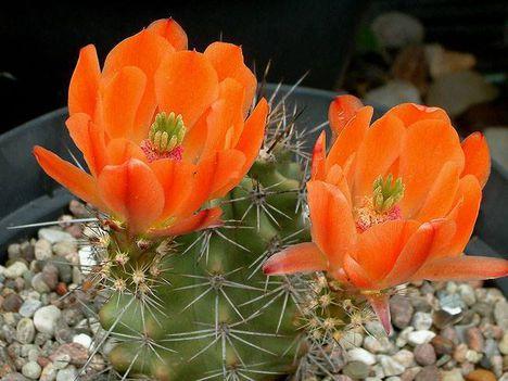 Virágzó kaktuszok (11)