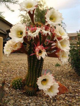 Virágzó kaktuszok (12)