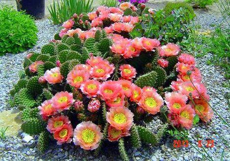 Virágzó kaktuszok (14)