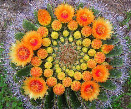 Virágzó kaktuszok (16)