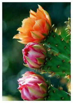 Virágzó kaktuszok (17)