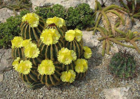 Virágzó kaktuszok (21)