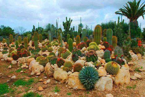 Virágzó kaktuszok (23)
