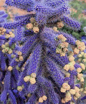 Virágzó kaktuszok (25)