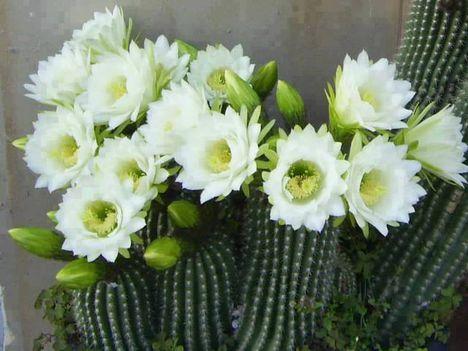 Virágzó kaktuszok (27)