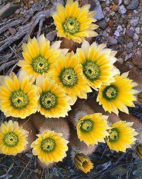 Virágzó kaktuszok (28)
