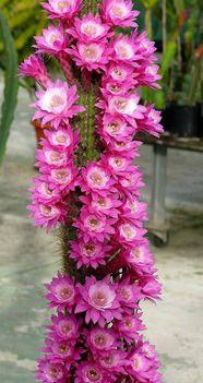 Virágzó kaktuszok (29)