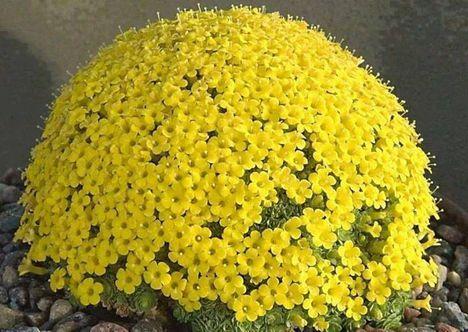Virágzó kaktuszok (3)