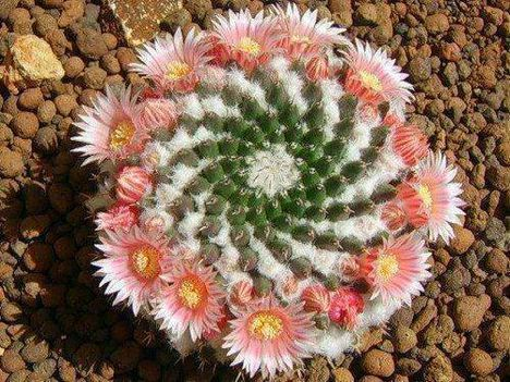 Virágzó kaktuszok (5)
