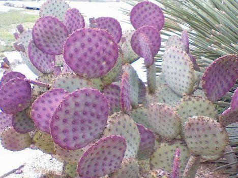 Virágzó kaktuszok (6)