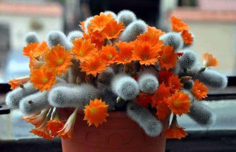 Virágzó kaktuszok (7)