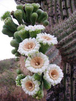 Virágzó kaktuszok (9)
