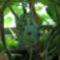 Kiwano, vagy tüskés uborka (Cucumis metuliferus)