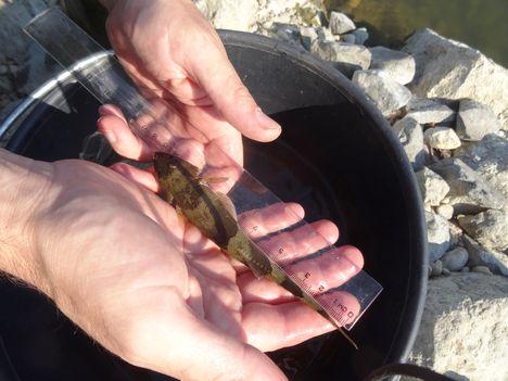 Német bucó, Mosonmagyaróvár, Lajta folyó, a duzzasztómű alvízi szakaszán és a hallépcsőben a a halak mozgásának a vizsgálata 2015. szeptember 01