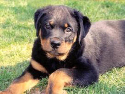 american-rottweiler-puppy