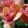 Domokos Tünde rózsái