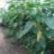 Paprika termesztés