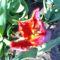 Piros tulipán