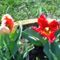 Rojtos tulipán
