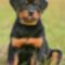rottweiler_puppy_nicholas