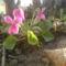 Rózsaszín tündérek