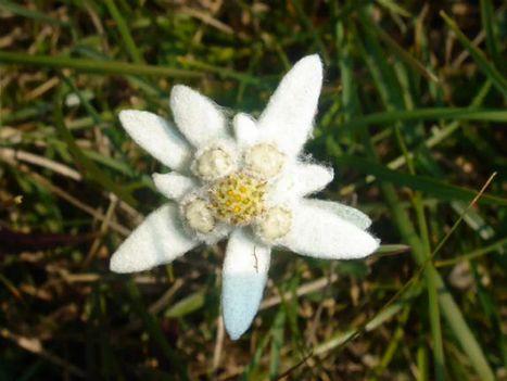 Edelweiss = Havasi gyopár