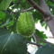 Mexikói tüskés egymagvú-tök (Sechium edule)