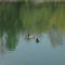 Úszkáló kacsák