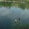 Úszkáló kacsák 2