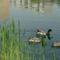 Úszkáló kacsák 3