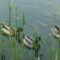 Úszkáló kacsák 4