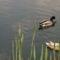 Úszkáló kacsák 5