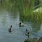 Úszkáló kacsák 6
