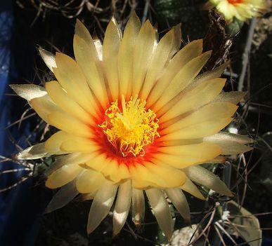 Kaktuszok 15