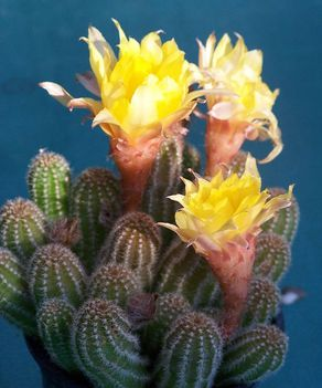 Kaktuszok 17